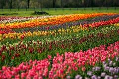 Поле тюльпана на острове Голландии ветрянки, Мичигане Стоковые Изображения