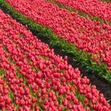 Поле тюльпана Стоковые Изображения