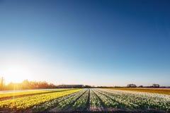 Поле тюльпанов в Нидерландах Голландия стоковая фотография rf
