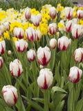 Поле тюльпанов в садах Keukenhof Стоковые Фотографии RF