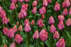 Поле тюльпанов стоковое фото