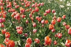 Поле тюльпанов танцев Стоковые Фотографии RF