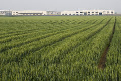 поле фабрики мозоли Стоковая Фотография RF