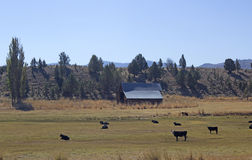 Поле фермы с коровами и амбаром Стоковое Изображение RF