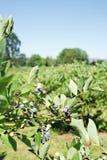 поле фермы bushes голубики большое раскрывает Стоковое Фото