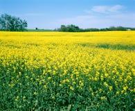 поле фермы saskatchewan canola Канады Стоковая Фотография