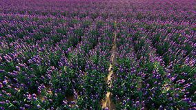 Поле французской лаванды Стоковые Фото