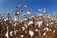поле хлопка Алабамы Стоковая Фотография RF