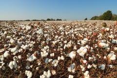 поле хлопка Алабамы Стоковое Фото