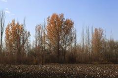 Поле хлопка в Синьцзян-Уйгурский автономный район Стоковые Изображения RF