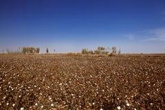 Поле хлопка в Синьцзян-Уйгурский автономный район Стоковое Фото