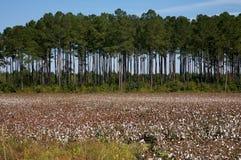 поле хлопка стоковое фото rf