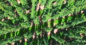 Поле хмеля от неба, предпосылки сток-видео