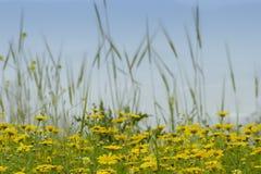 поле хризантемы Стоковые Изображения RF
