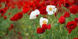 Поле цвести красные маки Стоковая Фотография