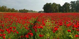 Поле цвести красные маки Стоковые Фото