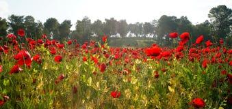 Поле цвести красные маки Стоковое фото RF