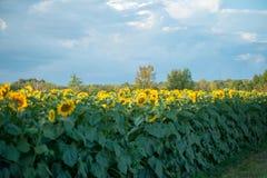 Поле цветеня солнцецветов полностью стоковое изображение rf
