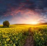 поле цветет желтый цвет лета ландшафта Стоковое фото RF