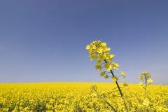 поле цветет желтый цвет Стоковое Фото