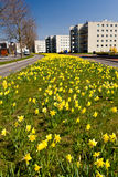 поле цветет желтый цвет narcissus Стоковое Изображение