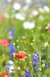 поле цветет лето Стоковая Фотография RF