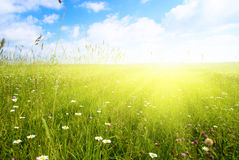 поле цветет лето Стоковые Изображения RF