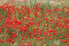 поле цветет мак Стоковые Изображения RF