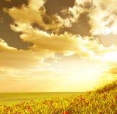 поле цветет пшеница стоковое фото
