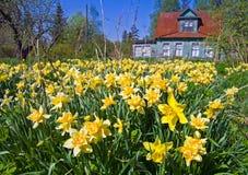 поле цветет narcissus Стоковая Фотография RF