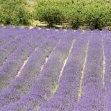 Поле цветка лаванды, с свободной, Провансаль. Стоковое фото RF
