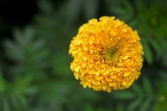 Поле цветка ноготк стоковое изображение