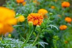 Поле цветка, огромные открытые цветки и только бутоны стоковое изображение rf