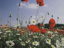 Поле цветков и маков в природе Стоковые Фото