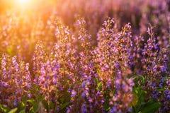 Поле цветков сирени в лучах на заходе солнца стоковое изображение rf