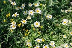 Поле цветков camomiles Стоковые Фотографии RF