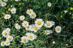 Поле цветков camomiles Стоковые Изображения RF