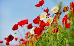 Поле цветя маков красного цвета и белизн Стоковое фото RF
