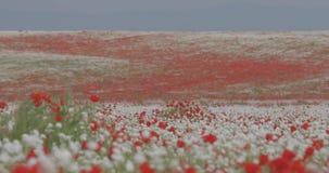 Поле цветя маков на предпосылке гор сток-видео