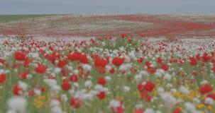 Поле цветя маков против голубого неба снаружи сток-видео