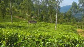 Поле чая в Шри-Ланке акции видеоматериалы