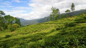 Поле чая Nuwara Eliya видеоматериал