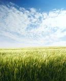 поле ячменя голубое над небом Стоковое Изображение