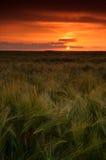 поле ячменя над заходом солнца Стоковая Фотография