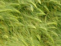 поле ячменя Стоковое фото RF