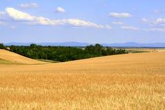 поле ячменя Стоковая Фотография