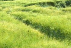 поле ячменя Стоковые Изображения