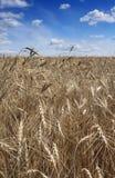 поле ячменя Стоковая Фотография RF