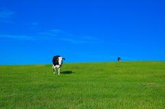 поле 4 коров Стоковые Фото