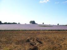 поле borage Стоковые Фото